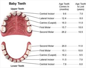 Structure Of Baby Teeth